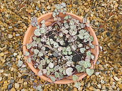 Slow to Grow (Steve Taylor (Photography)) Tags: pot gravel stones art digital green brown looking down uk gb england greatbritain unitedkingdom plant leaves heart