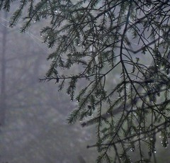 The Forest (Edinburgh Nette ...) Tags: harlaw inma march17 droplets rain dank dark pine forests trees webs twigs branches