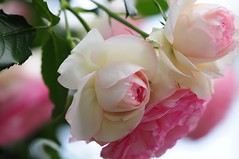 Rose 'Pierre de Ronsard' raised in France (naruo0720) Tags: rose frenchrose pierrederonsard frenchrosescollection バラ フランスのバラ ピエール・ド・ロンサール フレンチローズコレクション