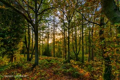 Evening Sunlight in the Forest (Holfo) Tags: autumn clenthills worcestershire woods trees light golden leaves colour nikon d750 forest tree landscape wood nationaltrust hdr autumnal branches sunlight