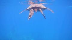 Snorkeling with Honu (helenehoffman) Tags: snorkeling blackseaturtle safariexplorer uncruiseadventures maui herbavore cheloniamydas snorkel greenseaturtle pacificgreenturtle hawaii honu conservationstatusendangered