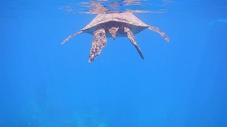 Snorkeling with Honu
