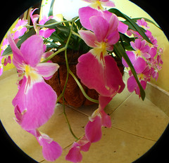 flores ojos de pez (TobiTr3s) Tags: naturaleza flores color flora flor rosa colores amarillo
