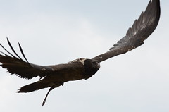 Bird of Prey (saddy_85) Tags: bird castle out fly nikon day eagle flight falcon prey warwick hunt scavenge d5100