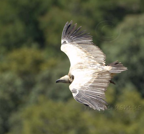 Cape Vulture  fly past_1127