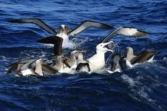 Northern Buller's Albatross Thalassarche bulleri and Northern Royal Albatross Forty-Fours Chatham Archipelago New Zealand