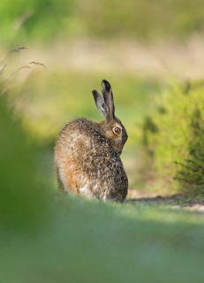 Early morning Brown Hare