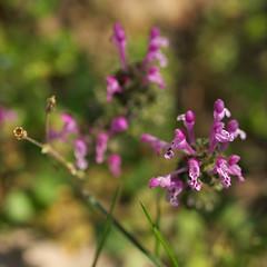 IMGP2699 (faki_) Tags: smcpentaxfa100mmf28macro pentax fa 100 28 k10d virág flower