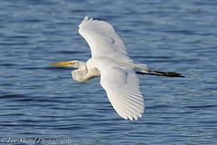 Great White Egret (Visit My Blog at www.leeshandphotography.com) Tags: new white birds nikon farm great flight jersey tamron egret celery allendale d800 150600mm