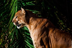 Cougar - Puma concolor (Victor Silvares) Tags: wild mountain nature animal canon lion adventure puma cougar ona savage onca parda concolor 50d suuarana 55250mm