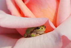 be patient (saudades1000) Tags: verde nature rose waiting small rosa frog tiny wait sapo treefrog greenfrog patience paciencia smallwonder pinebarrenstreefrog