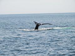 DSCN1211 (aurospio) Tags: offshore massachusetts chatham whales humpback necwa