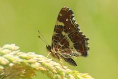 Araschnia levana (LisaOlsson) Tags: butterfly map lepidoptera fjril araschnialevana kartfjril lisasfoto
