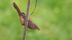 Streaked Laughingthrush (Dr. Farhan) Tags: wildlife ngc valley kashmir streaked neelam laughingthrush avianexcellence