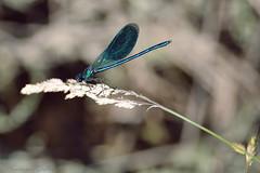 """""""Alla Ricerca della Libellula Blu Perduta!"""" (Gallo Andrea) Tags: estate ali sole libellula maturit stagno spiga felicit mutare cangianti lesuealicangianti profonditdicarattere"""