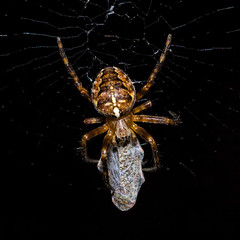 Would you like to be wrapped so neatly like this? (prague.czech.photo) Tags: summer black macro nature animal closeup danger garden insect spider fly back scary dangerous pattern natural legs little spiders background wildlife web spooky prey poison widow pest zoology