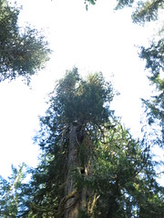 IMG_0843 (rnjacobs) Tags: washington olympicmountains hugetree