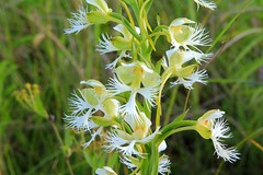 western prairie fringed orchid IMG_0224 (naturalist@winneshiekwild.com) Tags: orchid reis larry western fringed prairie platanthera praeclara