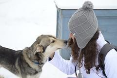 DSC_0812 (netalberto) Tags: husky lapland siberian lapponia