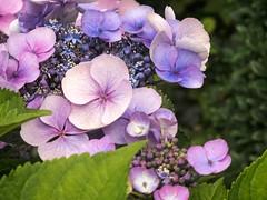 pretty pastels [explored] (carol_malky) Tags: pink blue flower macro colours purple pastel lilac hydrangea explored