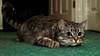 Ready to Pounce (Fieldy.) Tags: cat kitten kitty miow meow chat neko gato mace katu kот mačka котка gat kočka kat kass kissa katze γάτα macska köttur gatto kaķis katė мачка qattus katt kot pisică кот кіт cath קאַץ կատու pişik বিড়াল 猫 貓 კატა બિલાડી बिल्ली miv ネコ ಬೆಕ್ಕು мысық ឆ្មា 고양이 പൂച്ച मांजर муур ကြောင် බළලා гурба பூனை పిల్లి แมว بلی mushuk conmèo fieldym fieldy matthewfield matthewfieldphotography