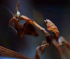 Phyllocrania paradoxa, Ghost mantis, L3 (_papilio) Tags: mantis nikon ghost invertebrate canonmpe65mm papilio mantid arthropod paradoxa ghostmantis phyllocrania d800e