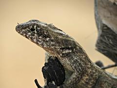 IMG_1955_fix (goatling) Tags: home island reptile lizard tropical tropic caribbean cayman carib caymanislands tropics grandcayman caribe westbay westindies britishwestindies gcm201407