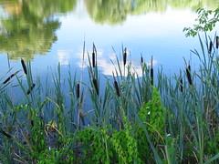 IMG_7714 (germancute) Tags: germany deutschland see thüringen swan pond thuringia schwan kiesgrube germancute