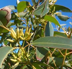 Eucalyptus resinifera subsp resinifera 3 (barryaceae) Tags: park new plants wales bay south australia national heath species crowdy heathplants australianheathplants aushp