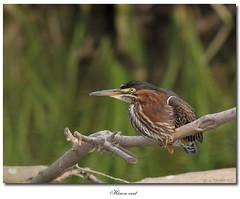 Héron vert / Green Heron IMG_8778 (salmo52) Tags: birds oiseaux ardeidae greenheron butoridesvirescens échassier héronvert ardéidés salmo52 alaincharette