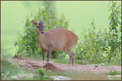 Muntjac (image 1 of 3) (Full Moon Images) Tags: nature animal mammal wildlife sandy bedfordshire reserve lodge deer muntjac thelodge rspb