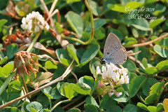Summer Azure Butterfly (1/2 Inch) at Negri-Nepote Native Grassland Preserve of Franklin Township New Jersey (takegoro) Tags: new nature butterfly native wildlife insects grassland preserve jersey  summer preserve township franklin negrinepote azure