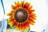 Shock o Lat Blooming (dbubis) Tags: orange flower yellow sunflower bloom bubis dbphoto nex6