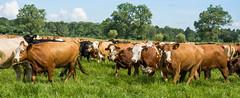Rinderherde/Cattle (ariana2572) Tags: germany cattle vorpommern mecklenburgvorpommern rinder viehtrieb rinderaufderweide gutborken