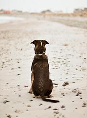 (Kylee Vincent Photography) Tags: ocean sea blackandwhite bw dog seascape seaweed cute beach beagle sepia puppy landscape photography 50mm coast blackwhite sand nikon surf waves tyson dusk f14 newengland newhampshire stormy nh pebbles rye atlantic blackdog stare curious bandw ryenh d90 beaglemix ryenewhampshire nikond90 fstop14 ryenorthbeach fossbeach kyleevincentphotography kyleevincent kyleeuliano fossbeachryenh fossbeachryenewhampshire ryenorthbeachnh ryenorthbeachnewhampshire