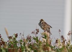 Lunch! (~ Paula B) Tags: nature newfoundland sparrow wildflowers savannahsparrow newfoundlandbirds