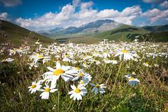 Daisy field (luigig75) Tags: flowers italy canon italia daisy monte fiori marche umbria 1022 castelluccio margherite vettore 70d efs1022mmf3545usm