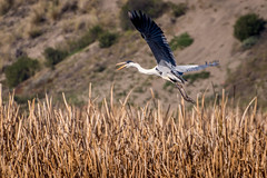 Garza Cuca (VPMPhoto) Tags: chile wild sky bird nature fauna fly flying wind wildlife sony feathers aves sp ave di wilderness tamron valparaso birdwatching slt usd avifauna a77 70300 humedal mantagua