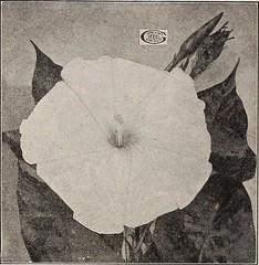 Anglų lietuvių žodynas. Žodis chilean jasmine reiškia čilės jasmine lietuviškai.