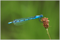 Blue Damselfly (Gerald H.) Tags: blue insect insects blau libelle insekt damselfly kleinlibelle
