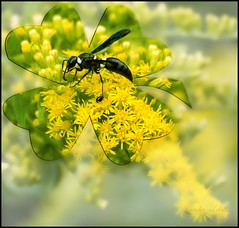 Lucky, the wasp. (Carolyn Lehrke) Tags: usa nature wow bees goldenrod insects explore wv lucky wasps nikond3200 4leafclover greenbriercounty ronceverte blackandwhitestripedichneumonwasp