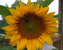 0008178 (To all that visit, Thank you) Tags: morning canada cold flower nb bee sunflower ©allrightsreserved nbphoto