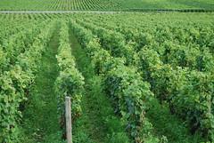 Volnay... (ellenbouckaert) Tags: uva bourgogne grape raisin pinotnoir volney wijngaard druif druiven traube weintraube bourgondi