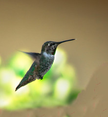 Stationary (http://fineartamerica.com/profiles/robert-bales.ht) Tags: california arizona southwest green birds spectacular hummingbird desert awesome fineart scenic peaceful panoramic nectar sensational inspirational annas sonoran magnificent haybales redcrown greetingcards pollination hummers trochilidae calypteanna canonshooter hummingbirdphotography arizonaphotography brightplumage southwestphotography americanphotograph mojavedeserts robertbales northamericanphotography