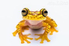Imbabura Tree Frog (Hypsiboas picturatus) (John P Clare) Tags: orange yellow bigeyes ecuador colombia stripes amphibian frog whitebackground dots treefrog largeeyes blotches blotch hypsiboaspicturatus imbaburatreefrog