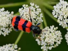 Trichodes apiarius (bathyporeia) Tags: spain lleida coleoptera trichodesapiarius hanshillewaert