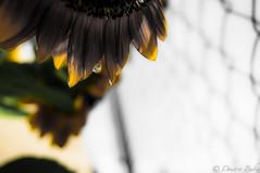 Shock o Lat (dbubis) Tags: flower drop sunflower bloom hdr lightroom bubis dbphoto nex6
