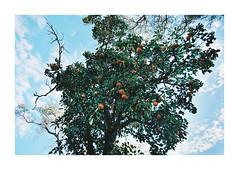 El naranjo (Florencia Bianchi Granados) Tags: film argentina canon landscape kodak 28mm paisaje rosario pelicula 100 1740mm ektar 1n analo