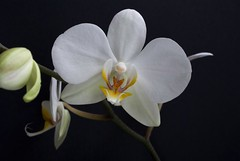 White Orchid Flower Plant White Plant Orchid Flower