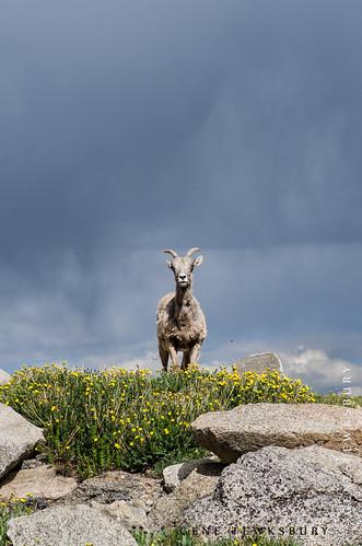 Lonley Goat